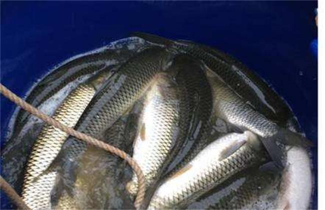 鲮鱼的养殖技术