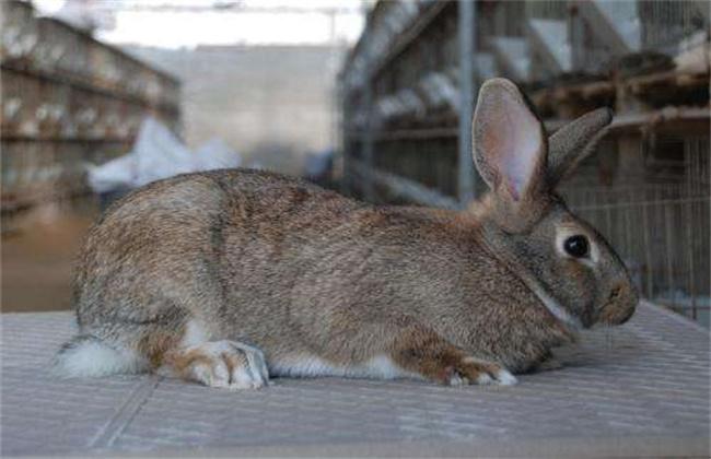 野兔养殖注意事项