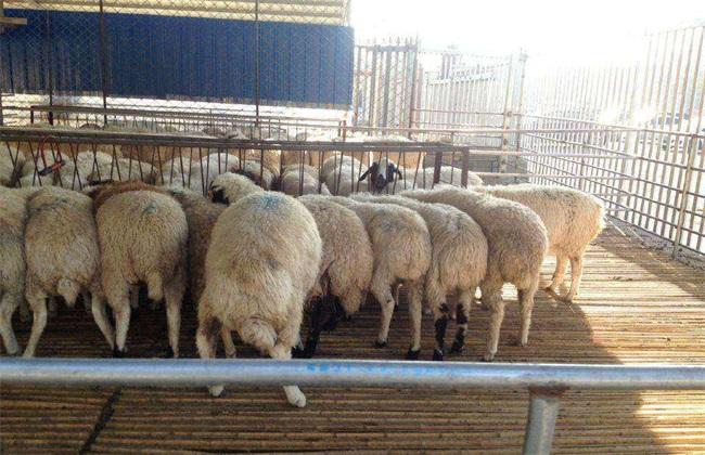 绵羊 要点 四季放牧