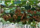 猕猴桃种植所需的环境
