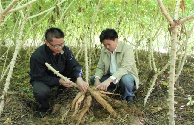 木薯 田间管理 种植