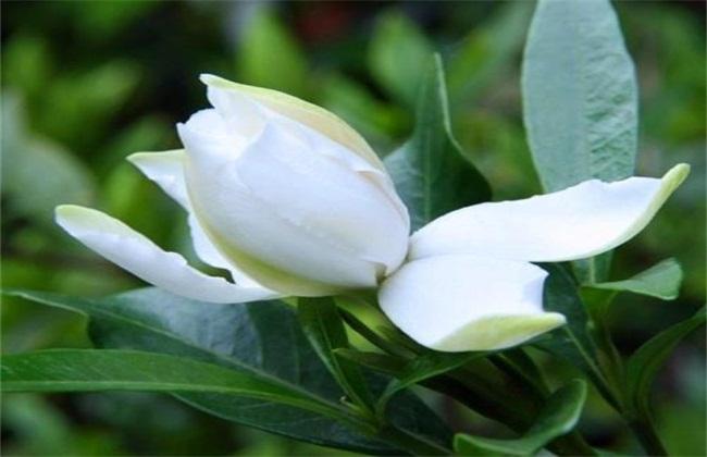 栀子花叶子发黄原因及防治