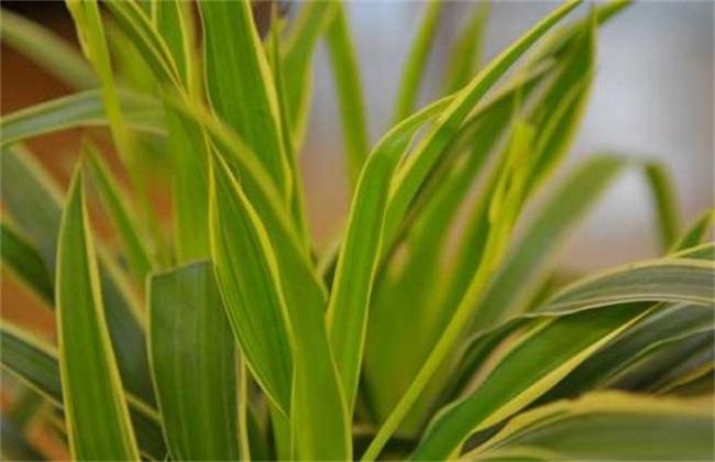 吊兰叶子发黄的原因及防治