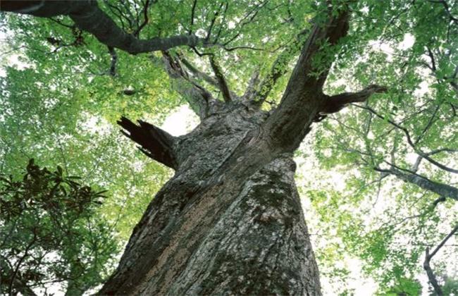 红豆杉多少钱一棵