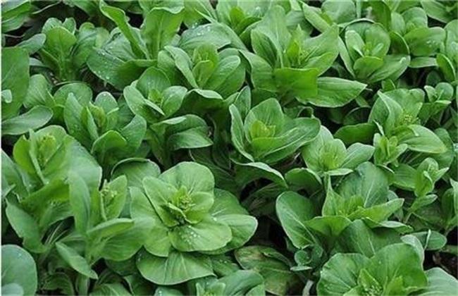 青菜 种植 方法