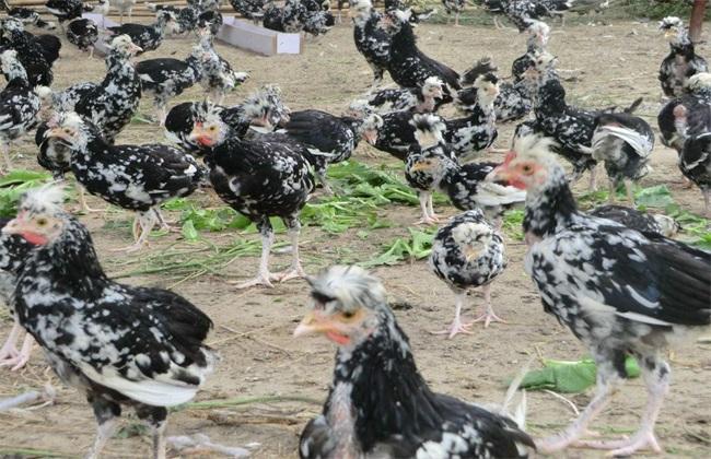 贵妃鸡 饲养管理 技术