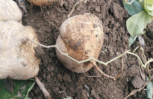 凉薯 田间管理 技术