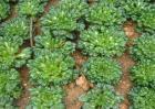 塌菜的栽培技术