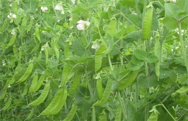 荷兰豆 种植 方法