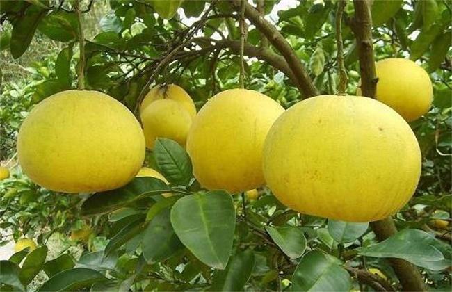 文旦和柚子的区别