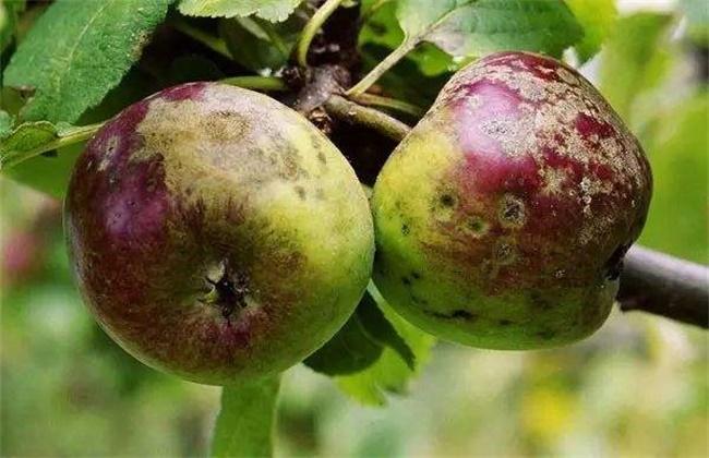 苹果锈病的防治方法