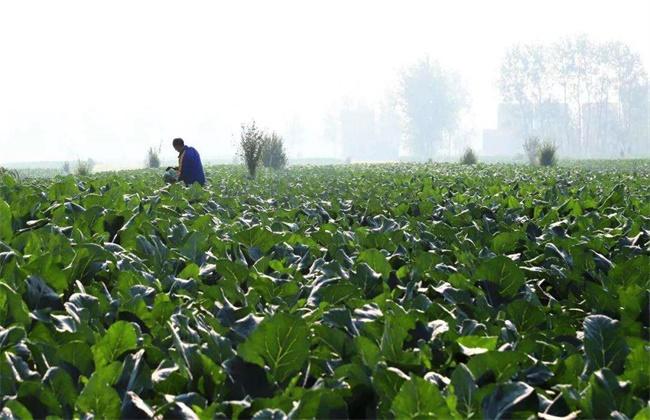 花椰菜的施肥技术