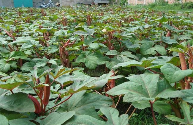 种植 红秋葵 怎么管理
