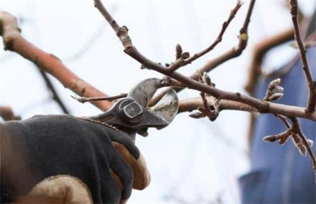 苹果树冬季修剪技术