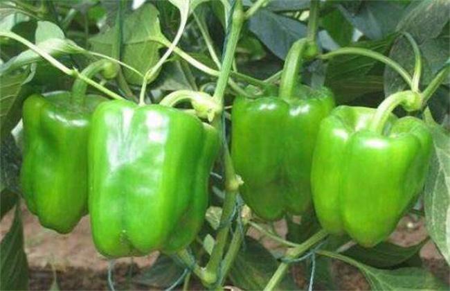 甜椒转色期管理技术