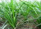 麦冬的种植条件