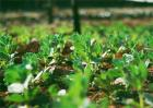 豌豆的高产施肥技术