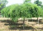 龙爪槐种植技术