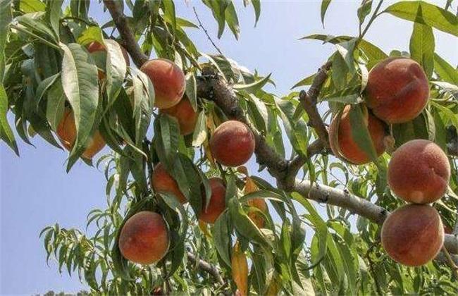 桃树 修剪 技术要点