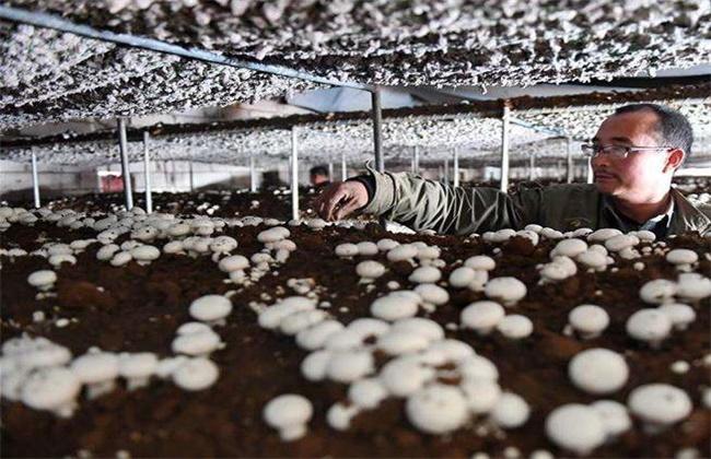 双孢菇的种植技术