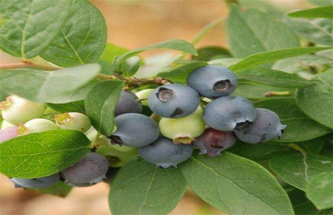 蓝莓 种植 注意事项