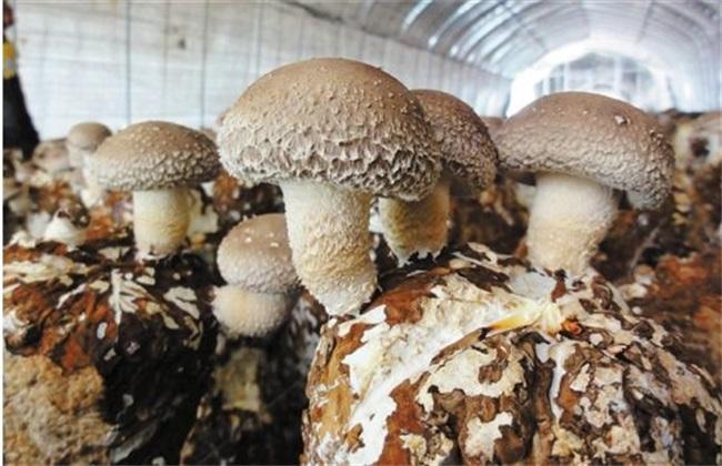 香菇 出菇后 如何管理