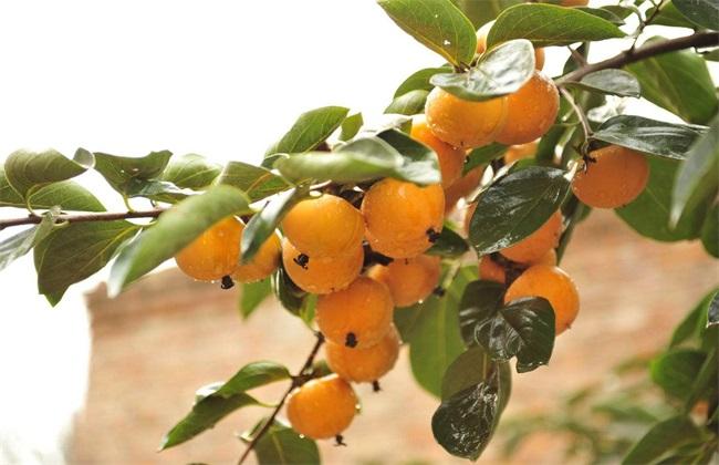 柿子树 怎么 育苗