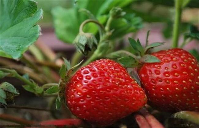 草莓的增甜技术