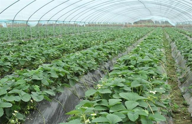 草莓 育苗 管理技术