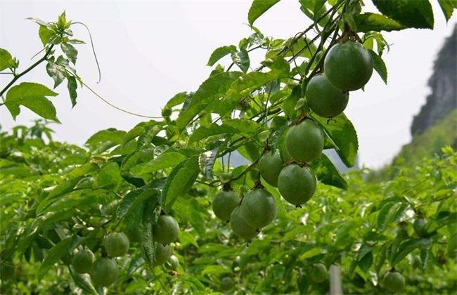 百香果生长对环境条件的要求