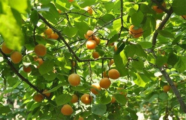 杏树采收后的管理方法
