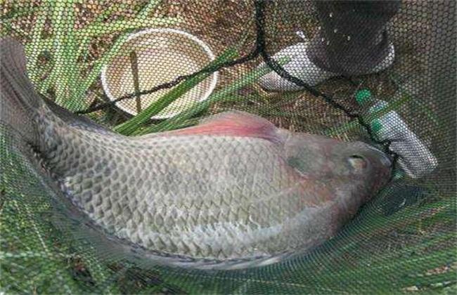 非洲鲫鱼2