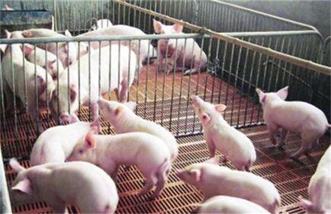 2019养猪要考虑的问题