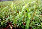 石斛扦插繁殖技术