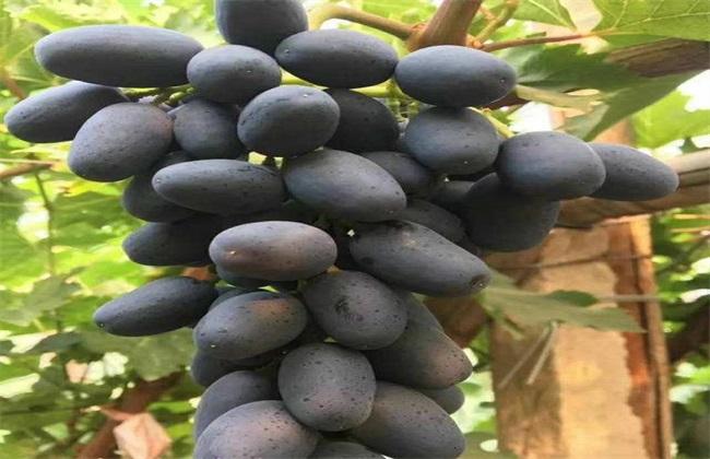蓝宝石葡萄 花果管理 技术