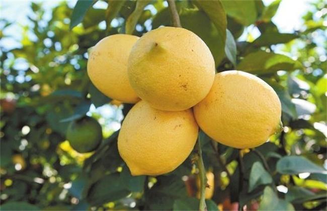 柠檬和香橼的区别