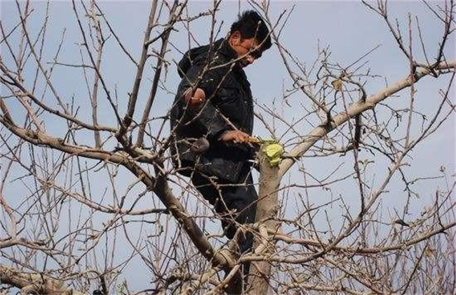 苹果 采收以后 怎么管理