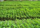 辣椒定植后缓苗不良的原因