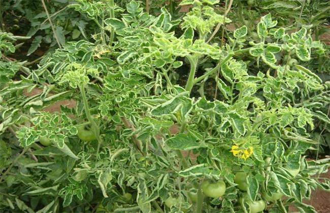番茄卷叶的原因及防治方法