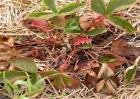 草莓茎秆、花瓣发红怎么办