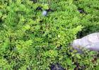 垂盆草如何种植