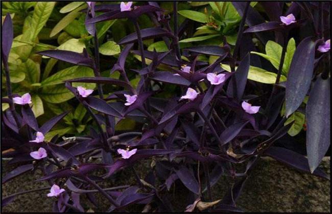 紫鸭跖草该怎么种植