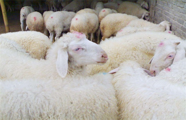 种羊淘汰后怎么育肥