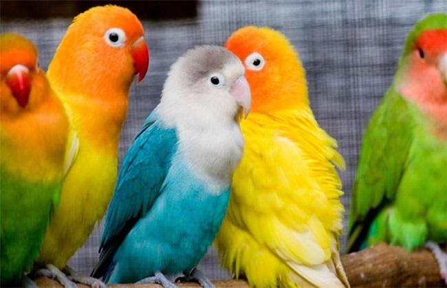 鹦鹉的常见品种