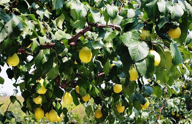 鸭梨如何种植
