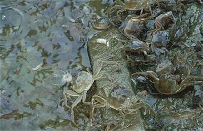 河蟹投喂注意事项