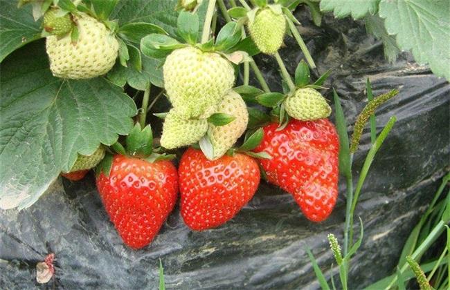 春季 草莓 怎样防旺长