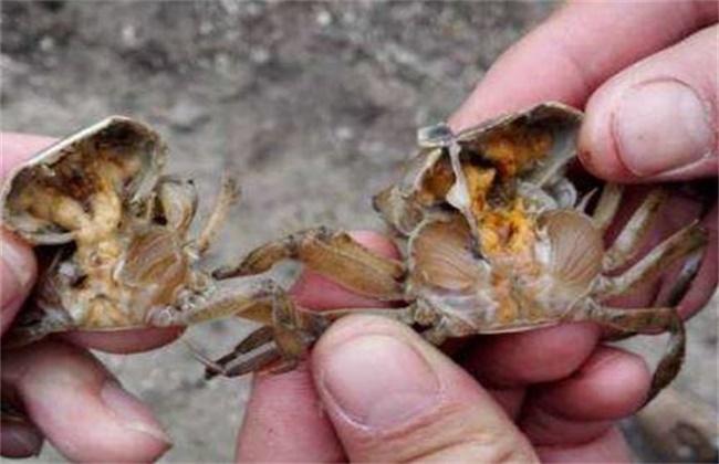 河蟹蜕壳期管理要点