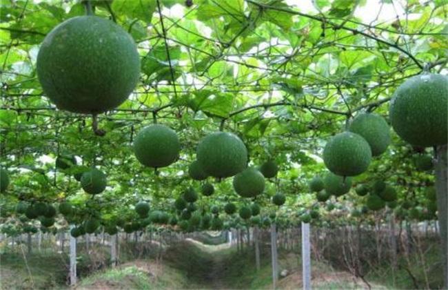 瓜蒌种植前景