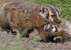 猪獾养殖需要注意的问题